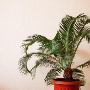 Mit Palmen gegen Nasenbluten? 2